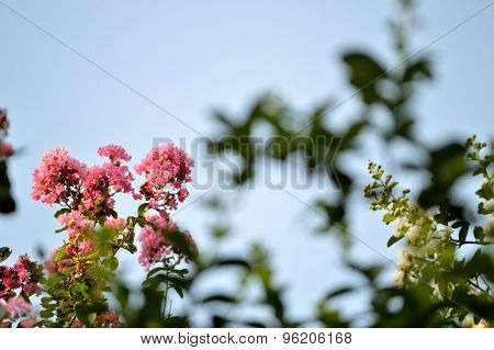 Crepe Myrtle And Sky Background.