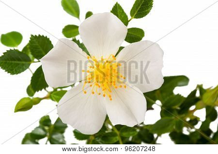 White Dog Rose