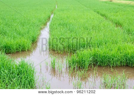Rice Seedlings In Paddy Rice