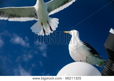 Flying Seagull For Freedom Concept