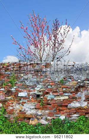 Flowering Peach Tree In Spring. Peach Tree Behind An Old Brick Wall.