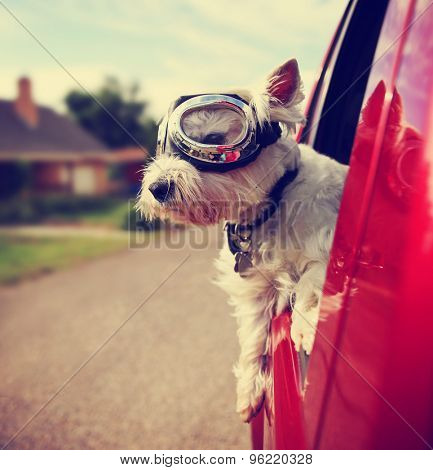 a cute westie - west highland terrier with goggles on riding in a car down an urban neighborhood road toned with a retro vintage instagram filter effect app