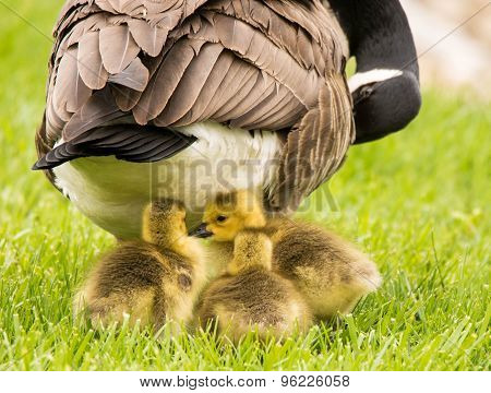 Goslings with mama Goose
