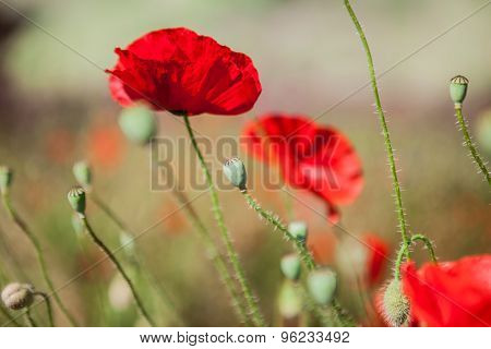 Close-up of red poppy flowers in summer