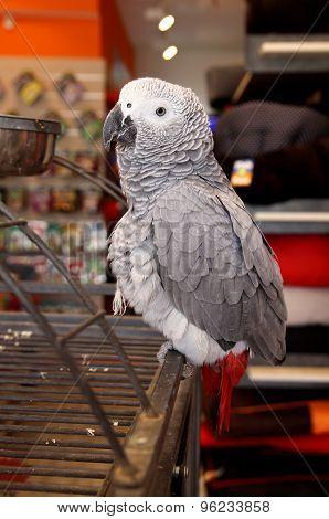 Grey Jaco Parrot