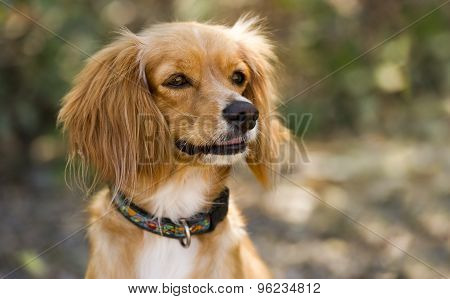 Pretty Dog Cocker Spaniel Copyspace