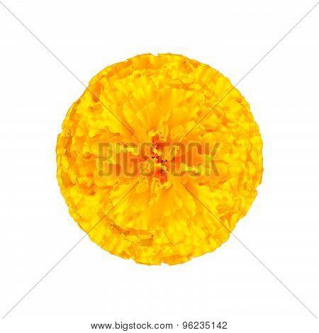 Marigold yellow Isolated on white background.