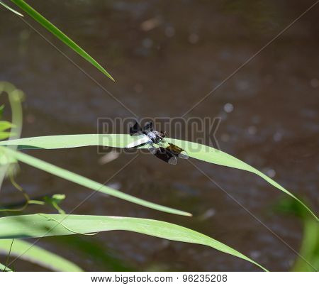 Black Winged Dragon Fly