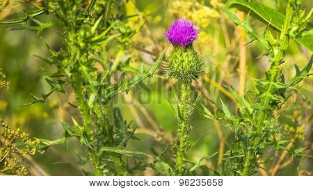 Bull Thistle. Purple Thistle Bloom.