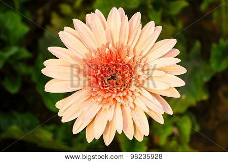 Gerbera background vintage elegance.