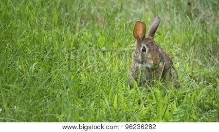 Wild Rabbit or Hare Eating Grass.