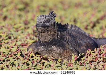 Marine Iguana Resting In Coastal Vegetation
