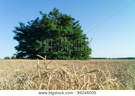 The tree grows in field with wheat.