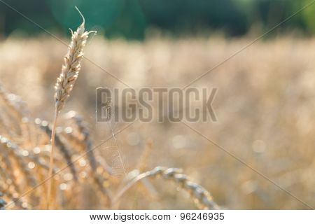 Cobweb on ears of wheat.