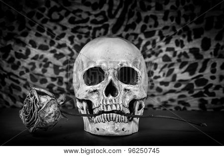 Still Life, Black And White Of Human Skull With Dry Red Rose In Teeth