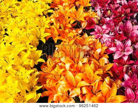 Closeup Of Beautiful Rows With Yellow, Orange And Dark Pink Lilies
