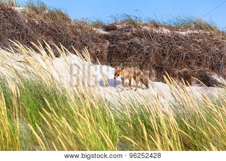Fox at Sand Dune