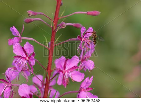 Hoverfly( Episyrphus Balteatus) On Pink Summer Flower In The Morning