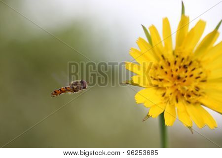 Flying Hoverfly( Episyrphus Balteatus) On Yellow Flower (crepis Vesicaria)