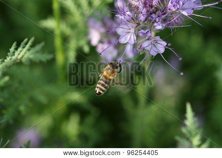 Close-up Of  Phacelia  Flower (phacelia Tanacetifolia) And Flying Honeybee