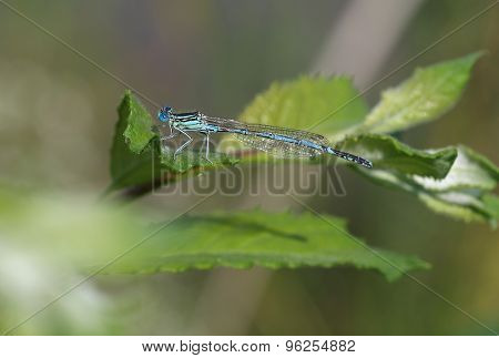 Common Blue Damselfly (enallagma Cyathigerum) Sits On A Leaf