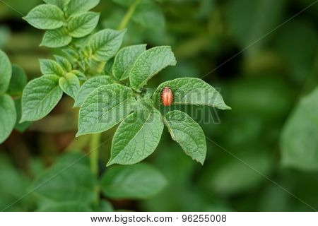 Colorado Potato Beetle On A Leaf.