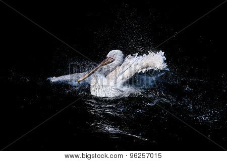 Swimming pelican