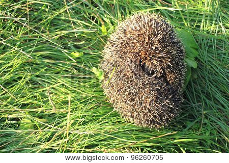 curled up hedgehog in green grass