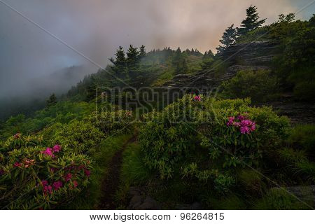 Roan Mountain Spring Rhododenron Blooms