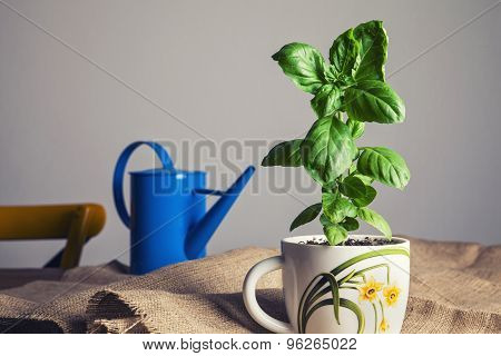 Fresh Green Basil In A White Pot. Vintage Style