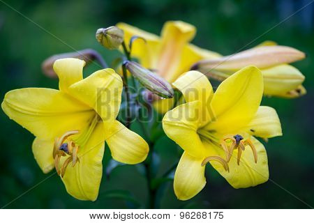 Vibrant Yellow Colored Bunch Of Asiatic Lily Flowers