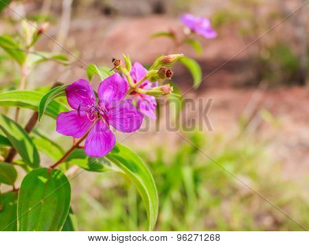 Indian Rhododendron