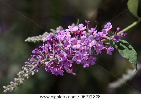 Indian Lilac - Lagerstroemia Indica