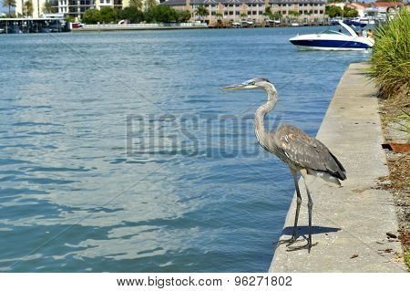 Grey heron Latin name Ardea cinerea