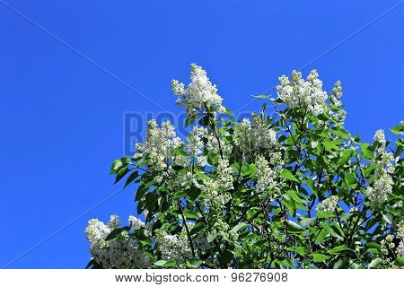Blossoming White Lilac