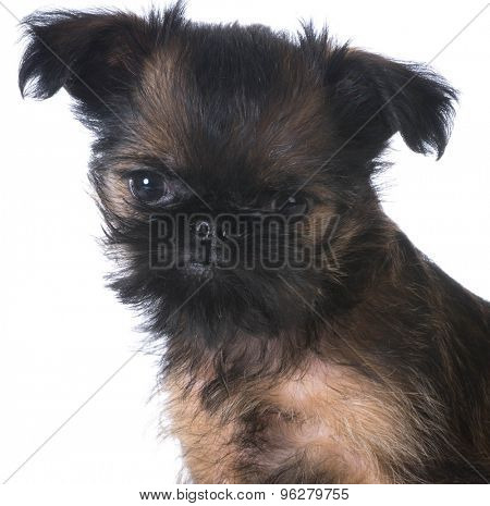 brussels griffon puppy portrait on white background