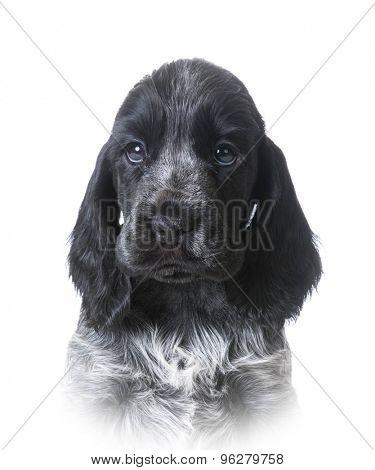 cute puppy - english cocker spaniel portrait