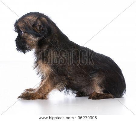 brussels griffon puppy on white background