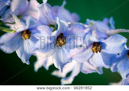 Wonderful Delphinium Blue Flowers