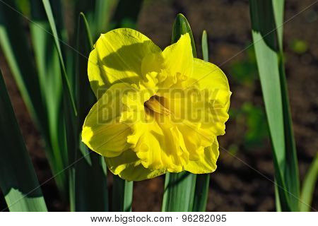 Beautiful Narcissus Terry