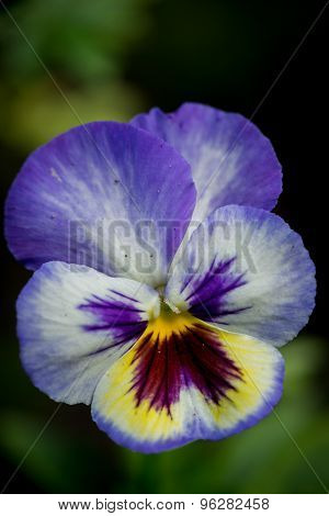 Pansy Violet Flower On A Natural Background