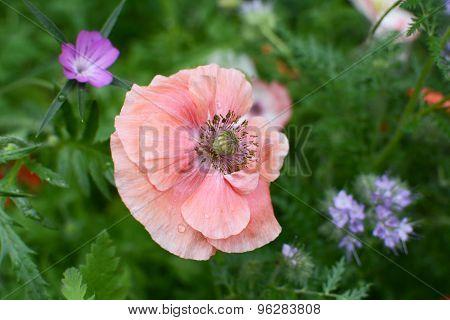 Delicate Pale Pink Field Poppy