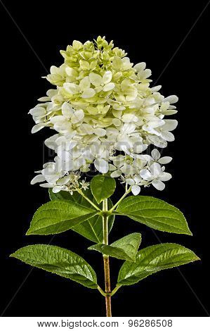 Flowers Of Hydrangea, Isolated On Black Background