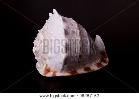 sea shell on black background