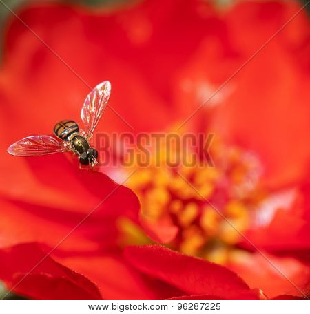 Macro Sweat Bee on Bright Red Flower