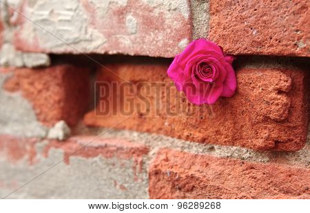 A Pink Rose Tucked in Crevice of a Brick Wall