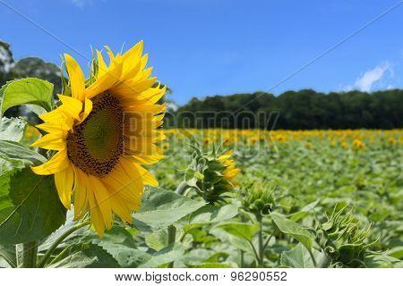 sunflowers field, blue sky
