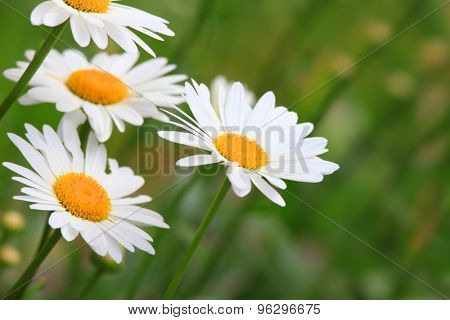 White Aster flowers in the garden