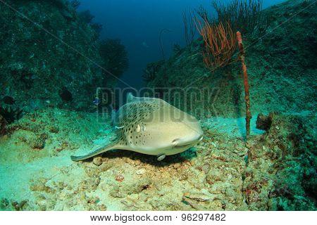 Leopard Shark also known as Zebra Shark