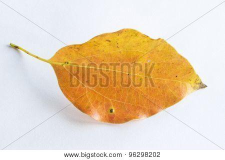 Orange Falling Leaf